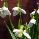 Celebrating Poetry – And she brought me Snowdrops…